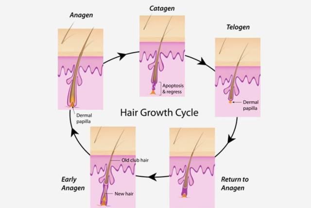 Fase Siklus Pertumbuhan rambut yang Jarang di Ketahui