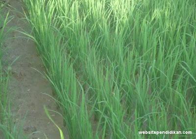 Daun padi bertulang daun sejajar