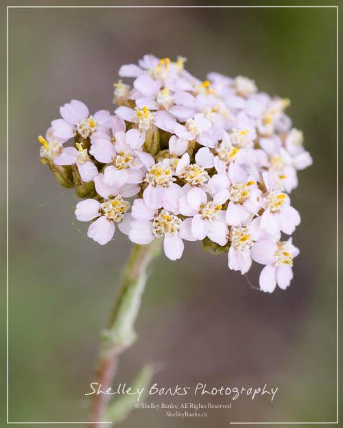 Prairie wildflowers pink yarrow with its flower head comprised on many small flowers sb mightylinksfo