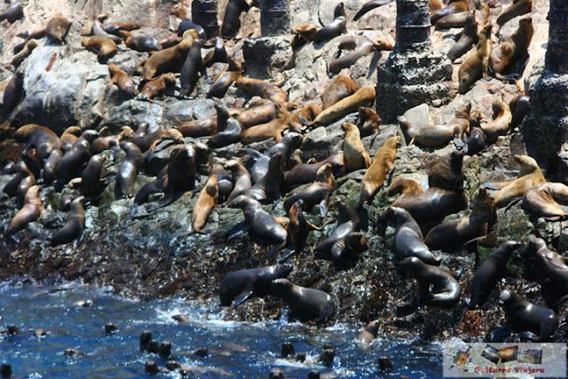 Lobo Marinos en las Islas Palomino