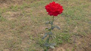 Rose Flower in National Rose Garden Delhi 2078