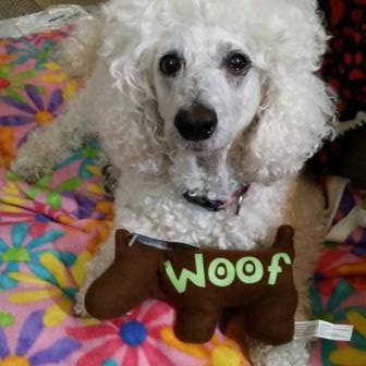 White standard poodle named Carma Poodale with WOOF toy.