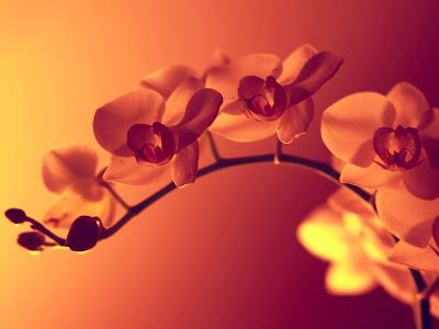 vara-de-orquideas-de-color-anaranjado