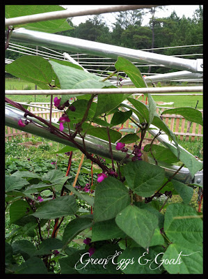 how can I grow beans on a clothesline?