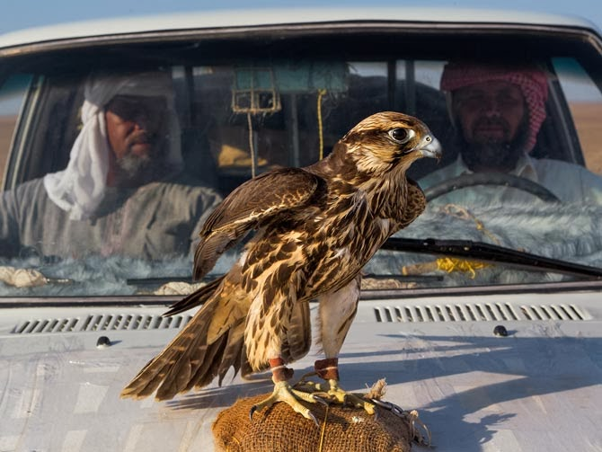 A tethered raptor serves as a trapper's spotter. When the bird spies a falcon, it looks up. This alerts the trapper to release a small bird wearing a snare, trapping the falcon if it comes in for the kill. Falconers pay up to $35,000 for a live falcon.