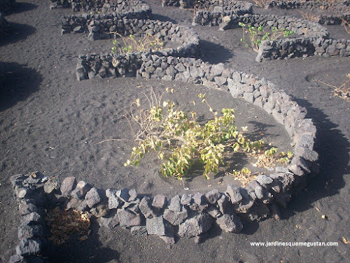 Cultivo en hoyos en Lanzarote