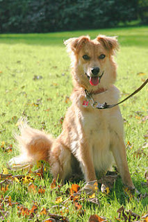 Basque Shepherd Dog-pets-dog breeds