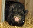 Hängebauschwein sucht Zuhause