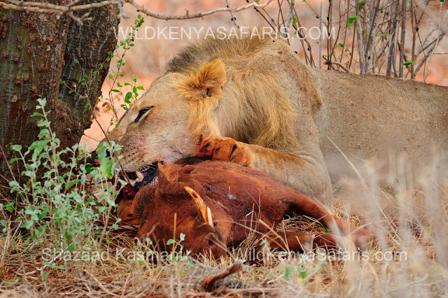 Lion eating, Lion Tsavo East, Kenia Safari in Tsavo Ost, tsavo east safari, wildlife Tsavo, Tsavo East Safari, Safaris from Mombasa, Safaris from Diani Beach, Wild Kenya Safaris, www.wildkenyasafaris.com, Kenia Safari, Safaris Kenya, diani safaris, wildlife kenya safaris, dream kenya safaris, natural world safaris, andbeyond safaris, dm tours safaris, beach air safaris, you and nature safaris, oranje safaris, wt safaris, vumbi jeep safaris, jt safaris, kifaru safaris,marco polo safaris, tsavo safaris, tahri camp, ashnil aruba lodge, sentrim camp, voi safari lodge, zomeni lion hill lodge tsavo, ndololo camp, voi wildlife lodge, manyatta camp, satao camp, saltlick lodge, lions bluff lodge, taita lodge, luxury safaris kenya, safaris from malindi, safaris from watamu. safari bookings kenya, safari holidays kenya, safari in Kenya