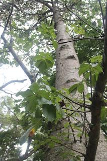 gambar atau foto Tanaman Baobab atau Pohon Botol (Adansonia Digitata)