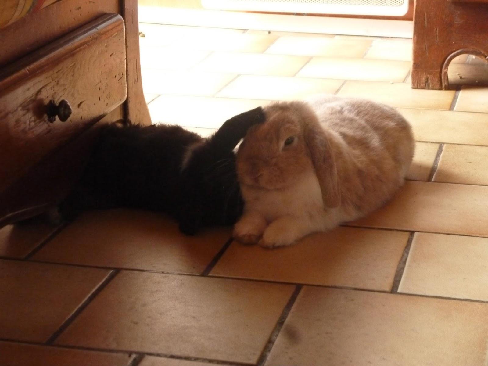 Baloo et Bidibulle couple de lapins belier
