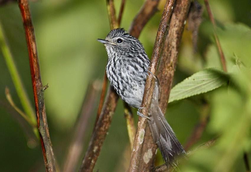 Dusky tailed Antbird