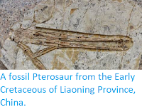 https://sciencythoughts.blogspot.com/2014/05/a-fossil-pterosaur-from-early.html