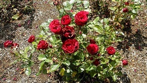 Rose Fertilizers picture
