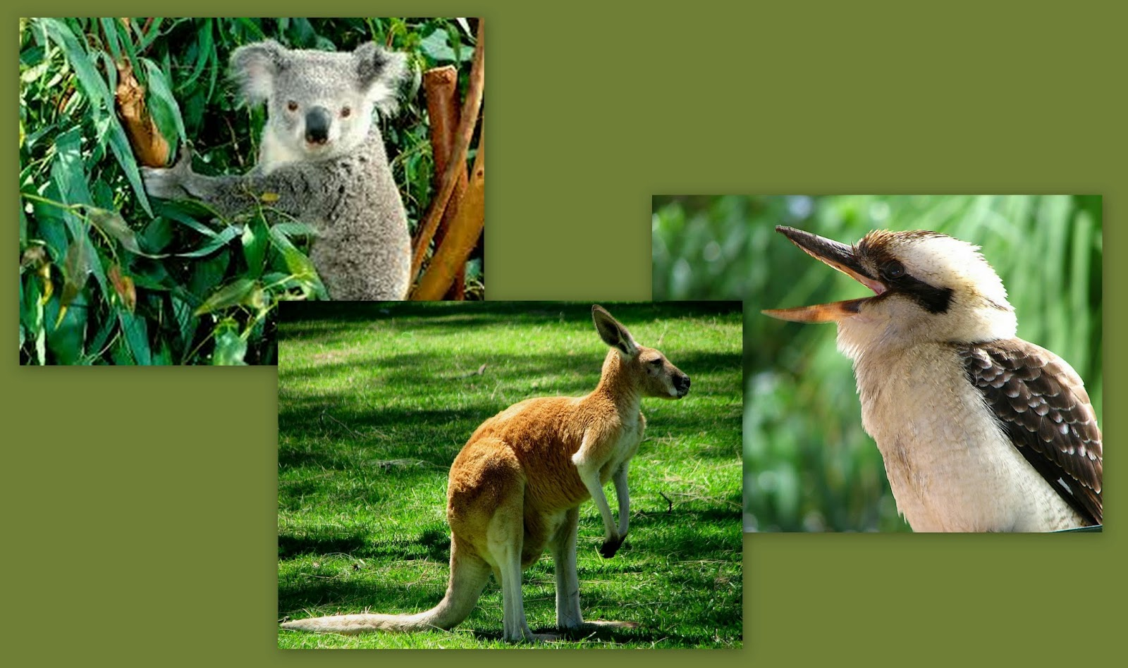 50 Years Around The World Kooka S Koalas And Kangaroos