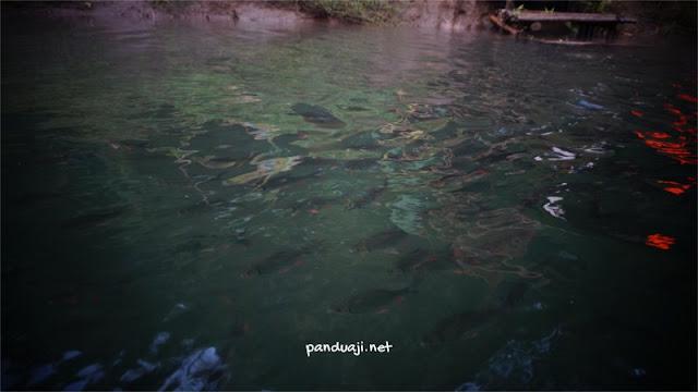 Ikan Badher Bang di Kawasan Konservasi