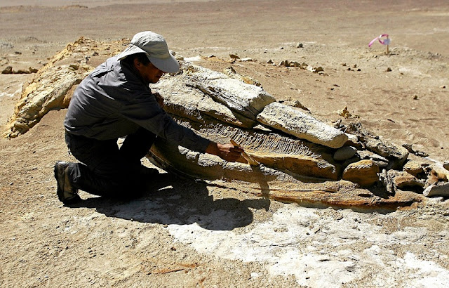 Walking Whale' Fossil Discovered In Peru's Ocucaje Desert