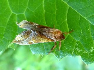 Sthenopis auratus - Sthenopis pretiosus - Hepialus auratus - Hépiale dorée