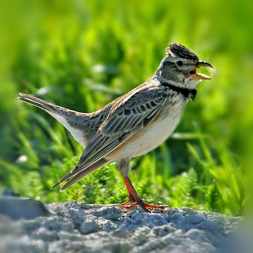 Suara burung calandra lark yang mantab