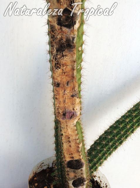 Cactus del género Peniocereus afectado por un hongo patógeno