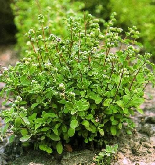 Raven's Herb and Garden Journey: Sweet Marjoram