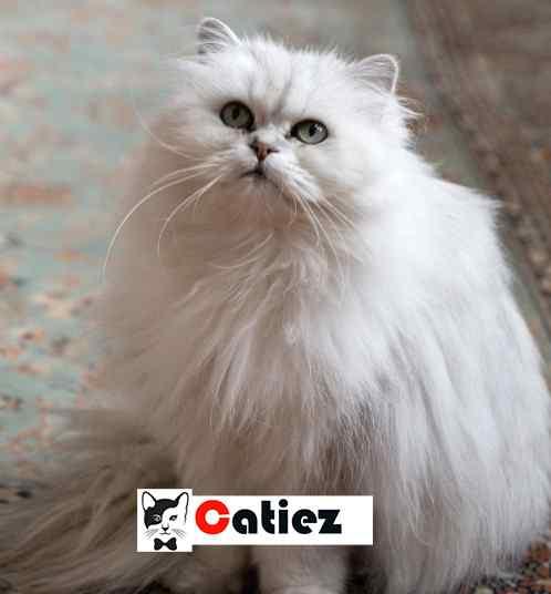 Chantilly-Tiffany Cat Breed