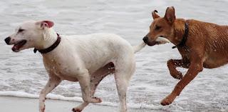 perros raza grande viven menos