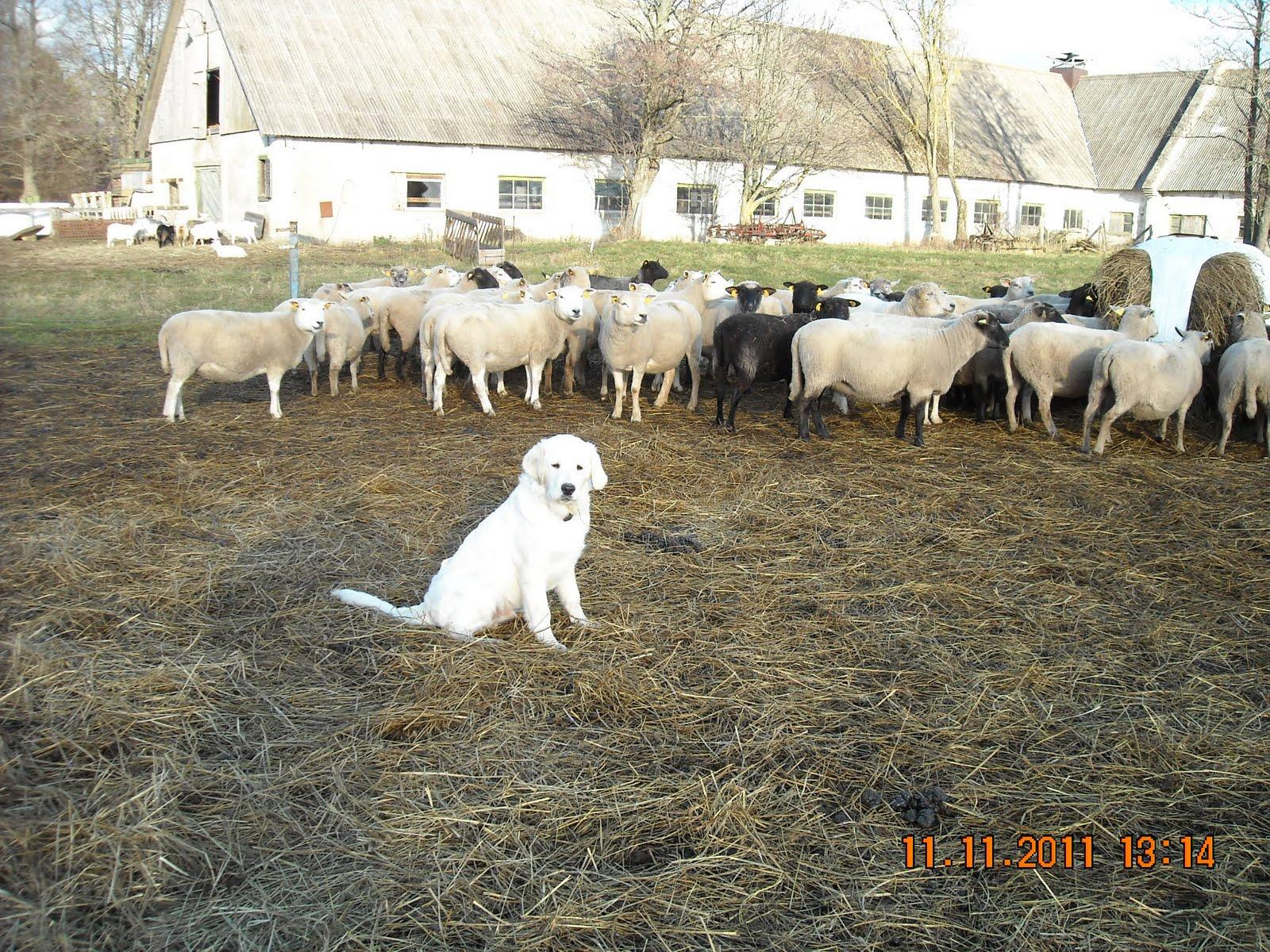 f1023b685ea Mäletan, et algul ei ulatanud kutsad korralikult lammaste jooginõust  joomagi - nüüd panevad nad sealt juba vabalt.