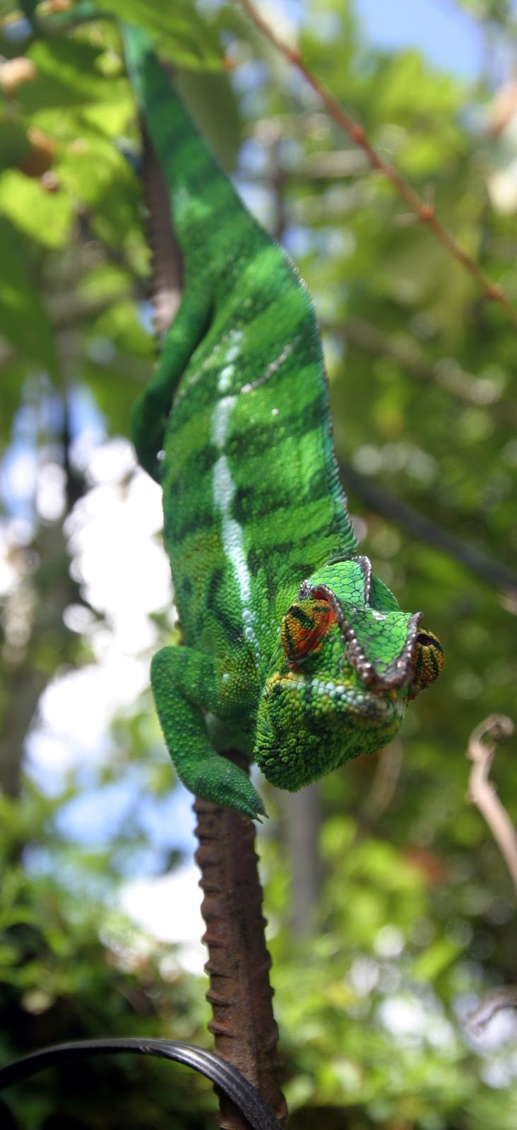 A chameleon on the move.
