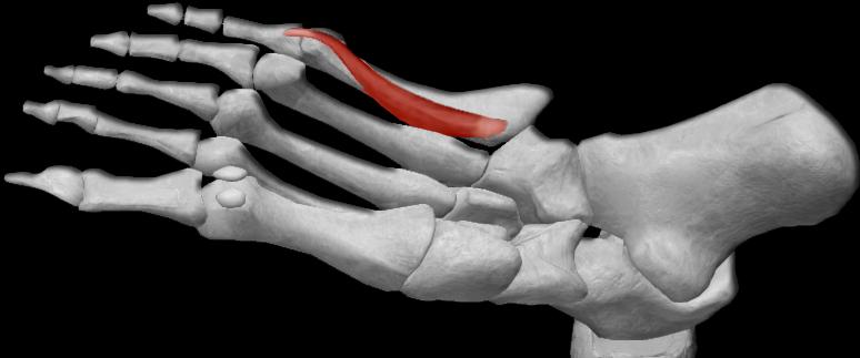 Músculo flexor corto del dedo pequeño | iinmed