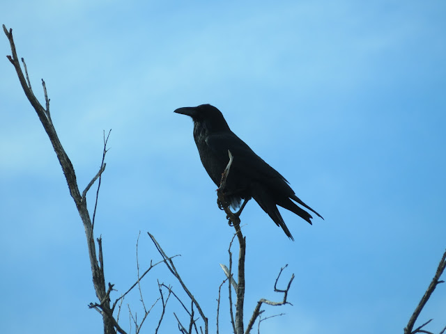 Silhouette of Raven in Tree