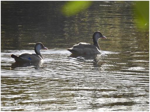 Pareja de patos en el tajamar chico - Chacra Educativa Santa Lucía