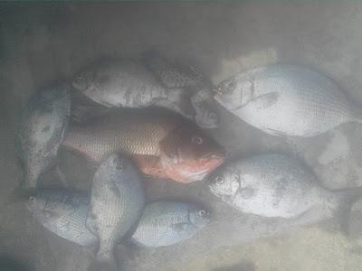 resep, racikan, ramuan umpan ikan baronang jitu ampuh rahasia terbukti