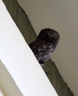 One of four owls that live at their hotel