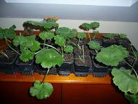 ukorzenianie sadzonek pelargonii