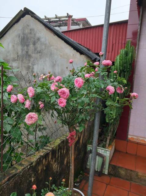 Nội, ngoại thất: Tree Rose- Hoa Hồng đẹp cho 1 diện tích khiêm tốn. 1