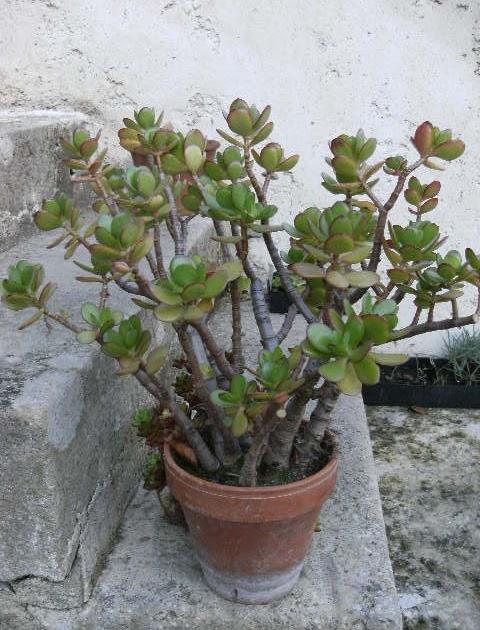 le jardin d 39 isa l 39 arbre de jade une plante de ma maison. Black Bedroom Furniture Sets. Home Design Ideas