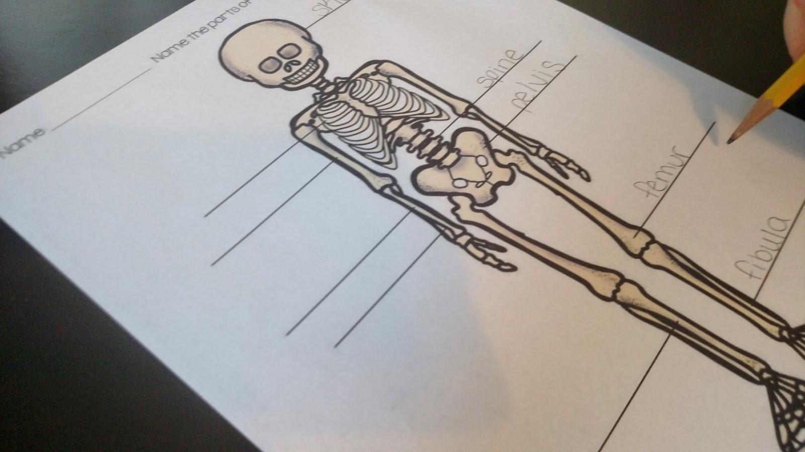 Thrifty In Third Grade Skeletal System