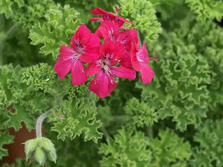 Pelargonium 'Rollison's Unique'