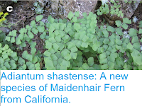 http://sciencythoughts.blogspot.co.uk/2015/08/adiantum-shastense-new-species-of.html
