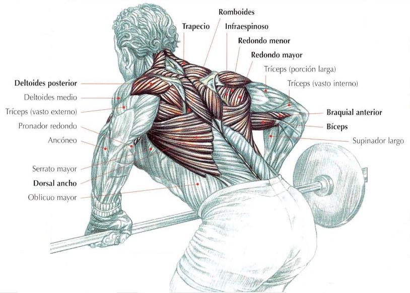 Remo horizontal con barra, músculos implicados | Rane Forti