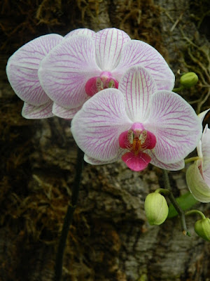 White and purple veined Phalaenopsis orchid at Allan Gardens Conservatory by garden muses-not another Toronto gardening blog
