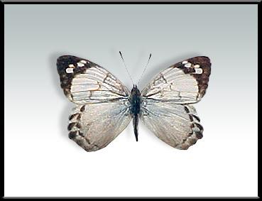 Mariposa marfil Eunica eburnea