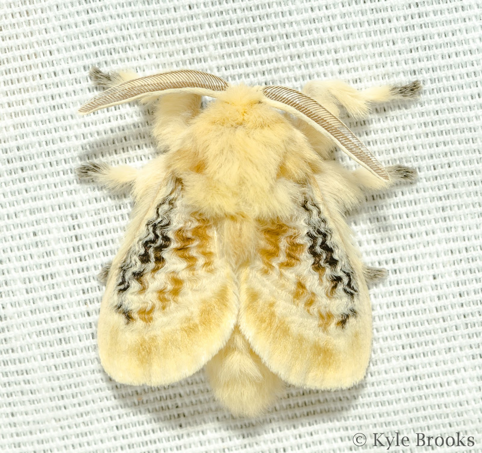 Black-Waved Flannel Moth (Lagoa crispata) Ohio