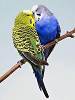 Bir dalda yan yana duran sarı ve mavi renklerde iki muhabbet kuşu