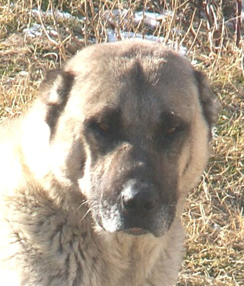 Top Five Kangal Dog Breeders Washington State - Circus