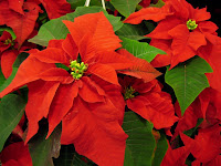 Greenville_christmas_flowers