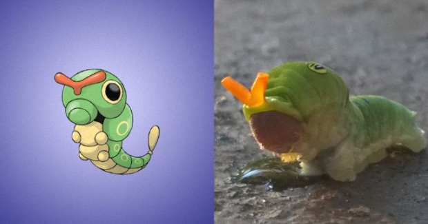Caterpie is based on the Eastern tiger swallowtail caterpillar