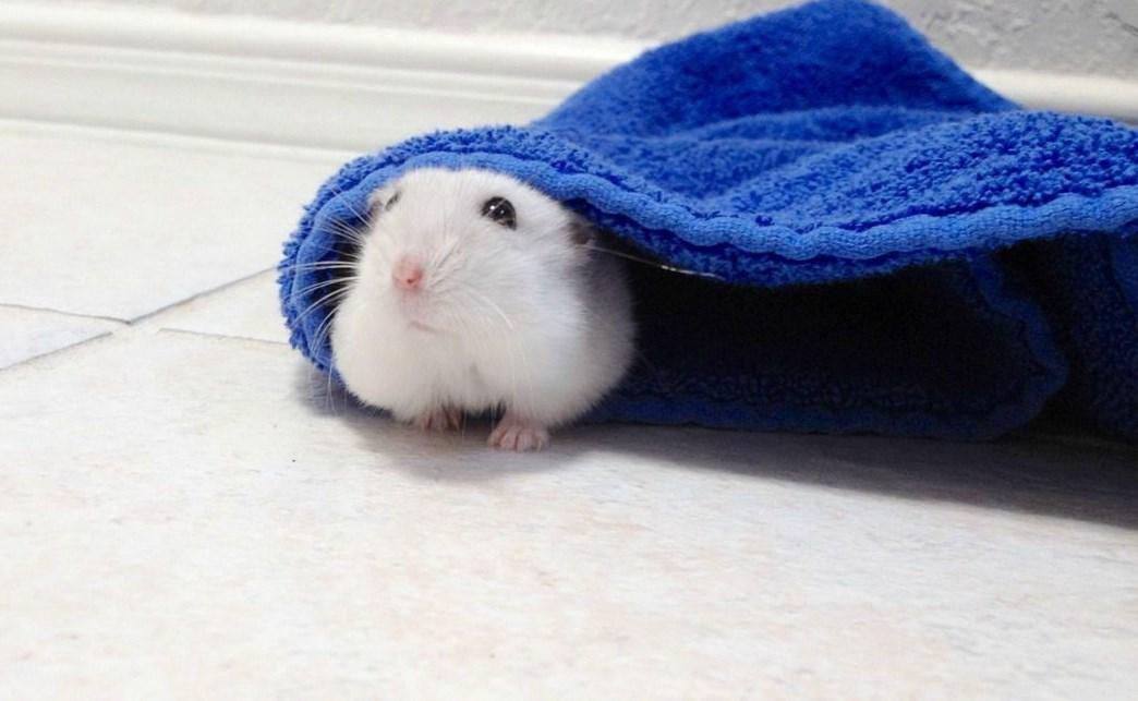 Tips dan Tata Cara Merawat Mencit atau Tikus Putih Bahan Percobaan Lab Biologi Dasar lucu di rumah