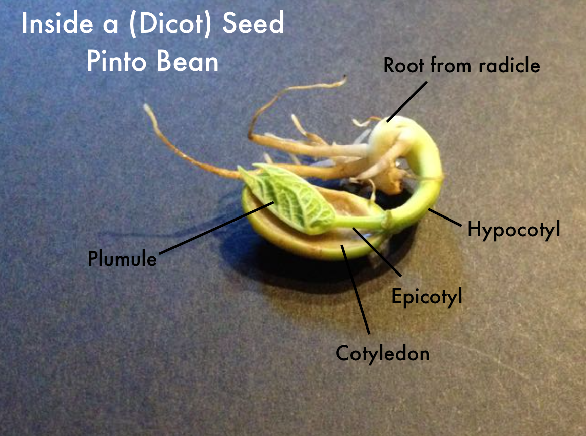 Bean Seedling Diagram Rostra Cruise Control Wiring Pinto Plant Life Cycle